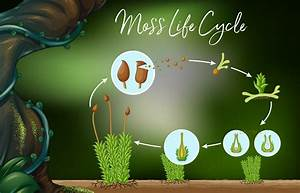 Science Vector Of Moss Life Cycle