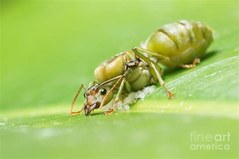 Giant ant laying eggs Photograph by Kim Pin Tan
