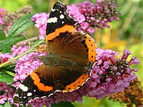 Schmetterlinge Im Garten, Besonders Am Sommerflieder