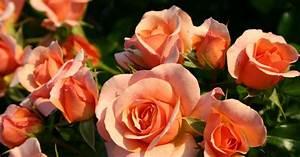 Rose Mein Schöner Garten : beetrose aprikola informationen tipps tricks mein ~ Lizthompson.info Haus und Dekorationen