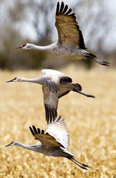 blue crane  endangered species images