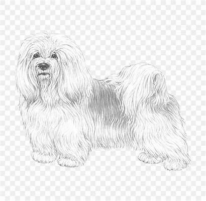 Dog Maltese Bolognese Lion Bolonka Bichon Havanese
