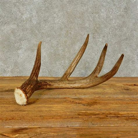 shedding antlers whitetail deer antler shed for sale 16436 the taxidermy