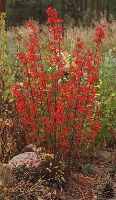 best plants for poor soil scarlet gilia ipomopsis aggregata hardy biennial perennial drought tolerant grows in poor