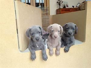 Blue Weimaraner pups | Fraserburgh, Aberdeenshire | Pets4Homes