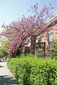 Baum Pflanzen Anleitung : judasbaum cercis siliquastrum pflege anleitung ~ Frokenaadalensverden.com Haus und Dekorationen
