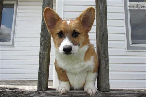 meet corky  cute welsh corgi pembroke puppy  sale