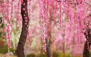 Rosa Blühende Bäume April : sch ner fr hling rosa bl ten bl hen b ume hintergrundbilder hd bild ~ Michelbontemps.com Haus und Dekorationen