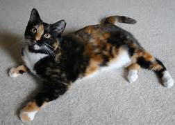 26027-cats-calico-cat ...Fluffy Dilute Calico Cat