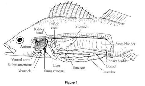 fish anatomy worksheet answers nhssc 5b7be9e6c8fa