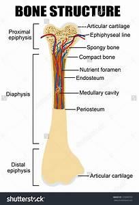 Labelled Diagram Of Long Bone