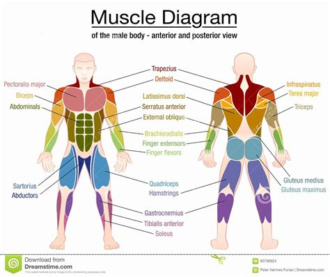 They are divided by location on the muscles of the neck, head, lower and upper extremities, as well as the muscles of the body. Muscle Anatomy Chart Lovely Muscle Diagram Male Body Names ...
