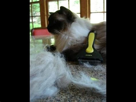 how to get your cat to stop shedding do ragdoll cats shed ねこ ラグドール floppycats