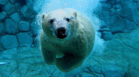 Hd Animal Wallpaper With A Polar Bear