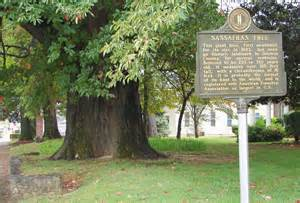 Largest Sassafras Tree Kentucky