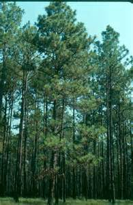 longleaf pine range types of america