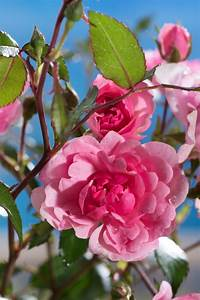 Schöne Bilder Kaufen : strauchrose sch ne dortmunderin rosa sch ne dortmunderin g nstig online kaufen ~ Orissabook.com Haus und Dekorationen