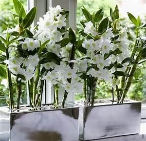 Comment Soigner Une Orchidée : 4 conseils pour les orchid es dendrobium le pouvoir des ~ Farleysfitness.com Idées de Décoration