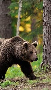 Wallpaper Brown Bear  Bear  Tread  Step  Walk  Forest