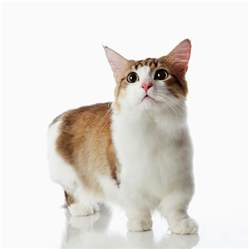 munchkin cats for munchkin cat breeders rescue pictures facts care