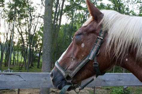 gentle horse draft giants rescue she winky couple got right mare
