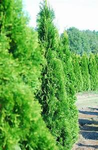 Thuja Smaragd Düngen : thuja smaragd thuja occidentalis smaragd plantinavia ~ Michelbontemps.com Haus und Dekorationen