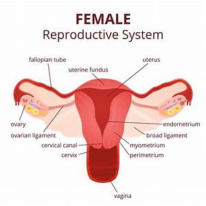 Female Reproductive System Diagram Unlabeled