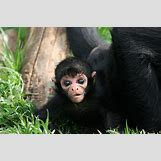 Baby Spider Monkey Pictures | 1024 x 680 jpeg 179kB