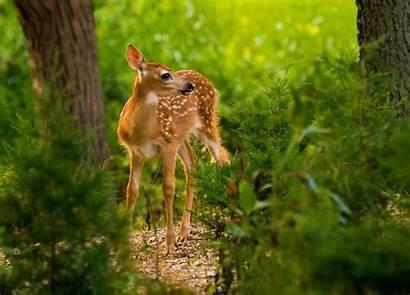 Background Wallpapers Deer Roe Nature Animals Mammals