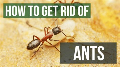 rid  ants guaranteed ant control  home