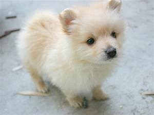Cute Pomeranian dog photo and wallpaper. Beautiful Cute ...