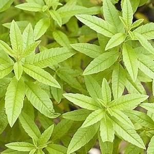Verveine Plante Tisane : verveine odorante citronnelle plantes aromatiques et medecinales ~ Mglfilm.com Idées de Décoration
