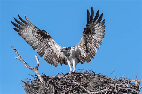 angle photography  white  black hawk osprey hd wallpaper wallpaper flare