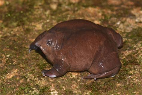 Purple Frog Nasikabatrachus sahyadrensis