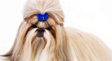 Shih Tzu Dog Breed Information American Kennel Club