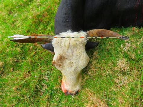 Bowhunting Wild Vancouver Bull (feral Cattle) And Poly
