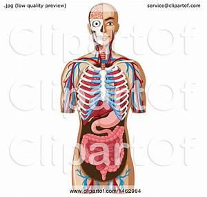 Clipart Of A Diagram Of Human Anatomy