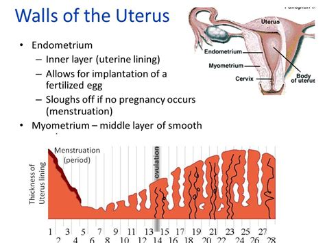 uterine wall shedding pregnancy reproductive system ppt