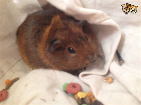 14 Week Old Male Guinea Pig Deperate For A Home