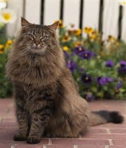 cats me 10 maine coon cat facts maine coon