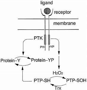 Cellular Regulation By Hydrogen Peroxide