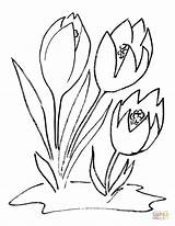 Crocus Coloring Flower Bulb Printable Template Categories Recommended sketch template