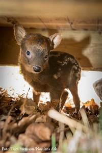 world 39 s smallest deer born in sweden zooborns