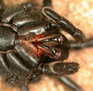 Spider bite - Wikipedia