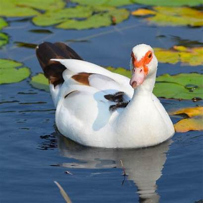 Duck Muscovy Hawaii Bird Female Moore Michelle