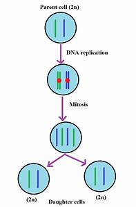 Everything You Need To Know About Mitosis