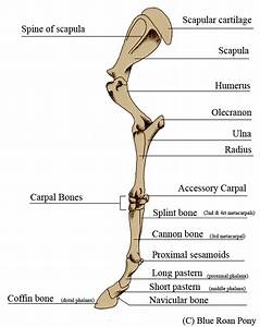Forever Horses  Anatomy Of The Equine Forleg