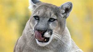 What Does a Cougar Eat?   Reference.com