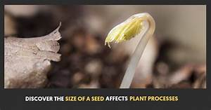 Discover How The Size Of A Seed Affects Plant Processes