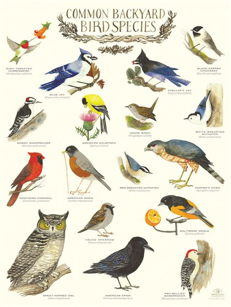 quot common backyard bird species quot infographic poster by diana
